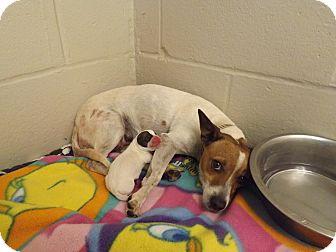 Jack Russell Terrier Mix Dog for adoption in Thomaston, Georgia - Sasha