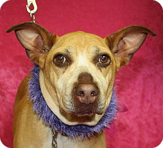 Retriever (Unknown Type)/Pit Bull Terrier Mix Dog for adoption in Jackson, Michigan - Diva