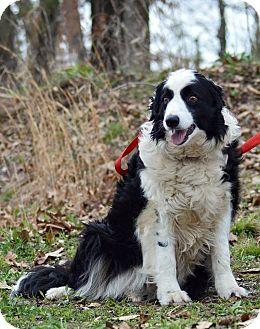 Border Collie Dog for adoption in Maryville, Illinois - Rissa