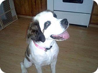 St. Bernard Dog for adoption in Pittsburgh, Pennsylvania - Mystery