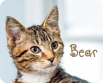 Domestic Shorthair Kitten for adoption in Somerset, Pennsylvania - Bear