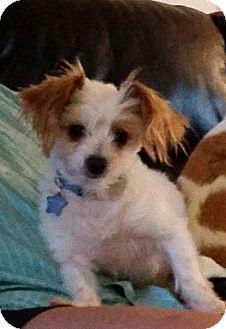 "Papillon/Maltese Mix Dog for adoption in Seattle, Washington - ""Fiji"""