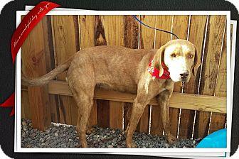Hound (Unknown Type) Mix Dog for adoption in Apache Junction, Arizona - Scarlett