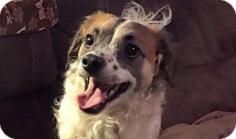 Spaniel (Unknown Type)/Terrier (Unknown Type, Small) Mix Dog for adoption in Sacramento, California - Dexter!
