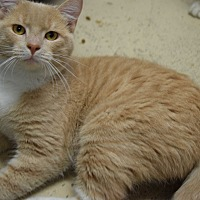 Domestic Shorthair Cat for adoption in Pottsville, Pennsylvania - Buster