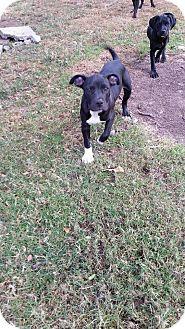 Labrador Retriever/Hound (Unknown Type) Mix Puppy for adoption in Salem, Oregon - Crush
