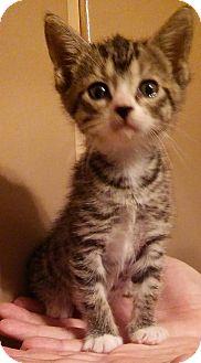 Domestic Shorthair Kitten for adoption in Parkton, North Carolina - September