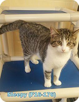 American Shorthair Kitten for adoption in Tiffin, Ohio - Sleepy