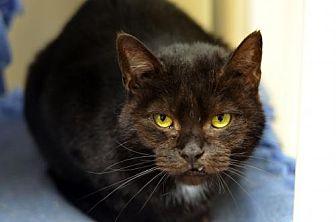 Domestic Shorthair Cat for adoption in Atlanta, Georgia - Peanut 8590
