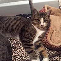 Domestic Shorthair Cat for adoption in Hamilton., Ontario - Cosby