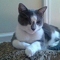 Domestic Shorthair Cat for adoption in Crossville, Tennessee - Lychee