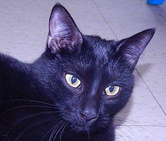 Domestic Shorthair Cat for adoption in Holden, Missouri - Night Talker