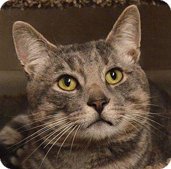 Domestic Shorthair Cat for adoption in Sherman Oaks, California - Gulliver