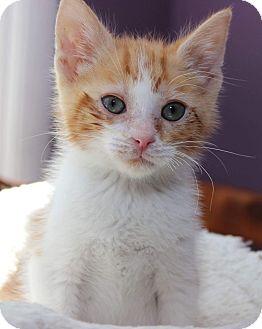 Domestic Shorthair Kitten for adoption in Media, Pennsylvania - Julian