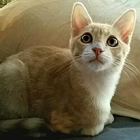 Adopt A Pet :: Neiko - Mission Hills, CA