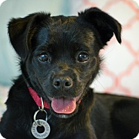 Pug/Labrador Retriever Mix Puppy for adoption in Hagerstown, Maryland - Lettie Faye