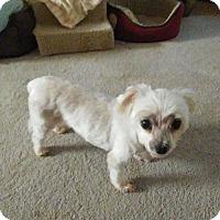 Maltese/Terrier (Unknown Type, Medium) Mix Dog for adoption in Gainesville, Florida - Betsy (FL)