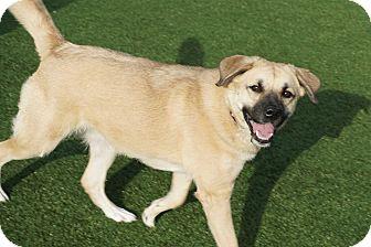 Anatolian Shepherd Mix Dog for adoption in North Richland Hills, Texas - Faith