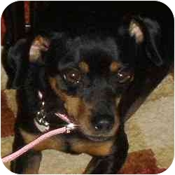 Miniature Pinscher Mix Dog for adoption in Greensboro, North Carolina - Lucy II