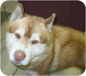 Siberian Husky/Alaskan Malamute Mix Dog for adoption in San Clemente, California - JUNEAU