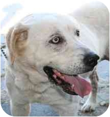 Labrador Retriever Mix Dog for adoption in Mazon, Illinois - Samantha (Sammy)