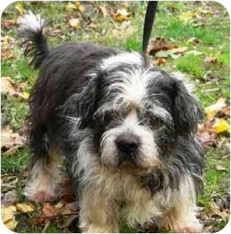 Lhasa Apso/Terrier (Unknown Type, Small) Mix Dog for adoption in PRINCETON, New Jersey - Sophie