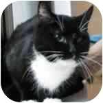 Domestic Shorthair Cat for adoption in Long Beach, New York - Callie