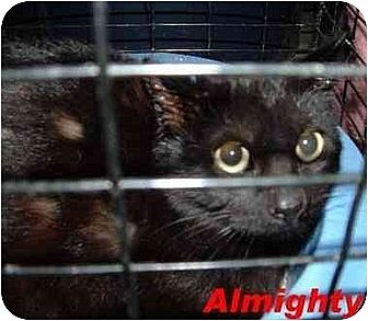Domestic Shorthair Cat for adoption in Hawk Springs, Wyoming - almighty