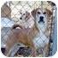 Photo 2 - Boxer/Hound (Unknown Type) Mix Dog for adoption in Proctorville, Ohio, Ohio - Reagan