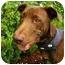 Photo 1 - Labrador Retriever Mix Dog for adoption in Houston, Texas - Bentley