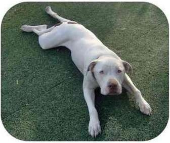 American Pit Bull Terrier/American Bulldog Mix Dog for adoption in Las Vegas, Nevada - Rex