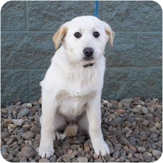 Labrador Retriever/Golden Retriever Mix Puppy for adoption in New Brighton, Minnesota - Fiona