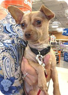 Chihuahua Dog for adoption in Schertz, Texas - Luka