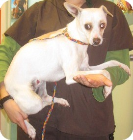 Chihuahua/Rat Terrier Mix Dog for adoption in Westminster, California - Totem