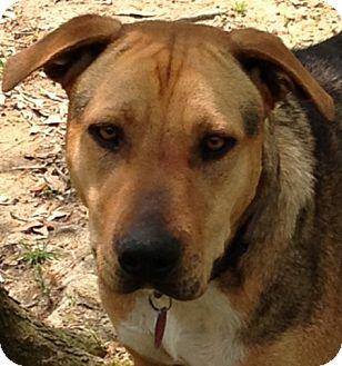 Shepherd (Unknown Type) Mix Dog for adoption in Alpharetta, Georgia - Larry