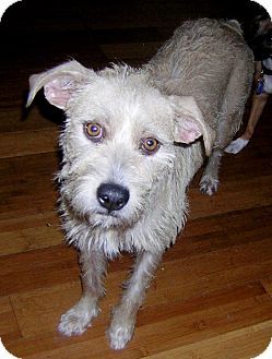 Schnauzer (Standard)/Fox Terrier (Wirehaired) Mix Dog for adoption in Hollywood, Florida - PRESCOUS
