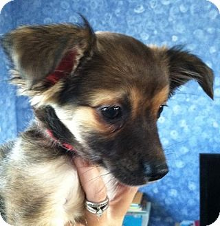 Chihuahua Mix Puppy for adoption in Morris, Illinois - PHOENIX