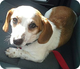 Dachshund Dog for adoption in Richmond, Virginia - Speckles