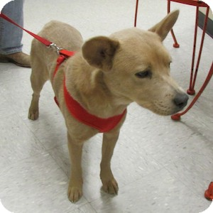 Chow Chow Mix Dog for adoption in Gilbert, Arizona - Oopsey Daizy