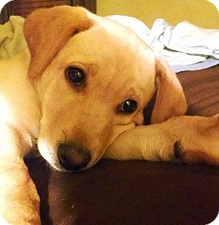 Labrador Retriever Mix Puppy for adoption in Palatine, Illinois - Billy