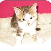 Adopt A Pet :: Dutch - Shelton, WA