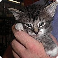 Adopt A Pet :: Raja - Warren, MI