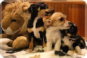 Rat Terrier Puppy for adoption in Newtown, Connecticut - Star
