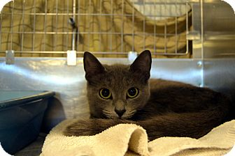 Russian Blue Cat for adoption in Broadway, New Jersey - Johanna