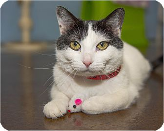 Domestic Shorthair Cat for adoption in Fruit Heights, Utah - Maggie