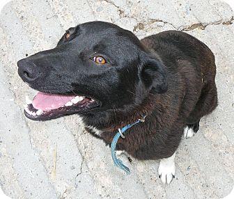 Australian Kelpie/Cattle Dog Mix Dog for adoption in New Plymouth, Idaho - BUCKSHOT