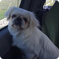 Adopt A Pet :: Angel - Russellville, KY