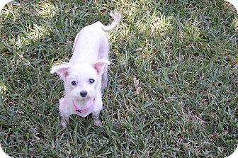 Maltese Mix Dog for adoption in Arlington/Ft Worth, Texas - Abigail