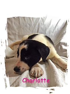 Retriever (Unknown Type) Mix Puppy for adoption in Waterbury, Connecticut - Charlotte