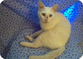Siamese Cat for adoption in San Antonio, Texas - Whitey